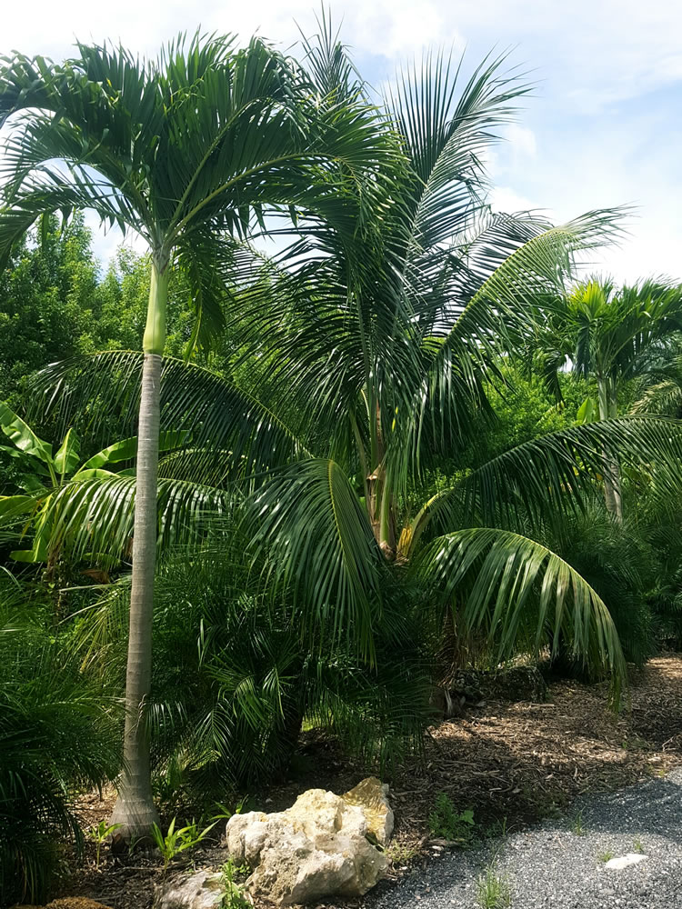 trees-for-sale-palm-beach-county
